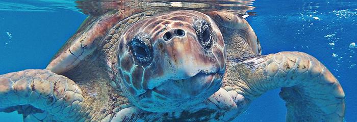 Emerald Coast Sea Turtle beach_walks