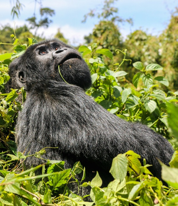 A silverback — a gorilla elder — ponders his options.