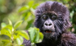 A baby gorilla photographed in the mountains of Rwanda. Photos by Bret Love and Mary Gabbett