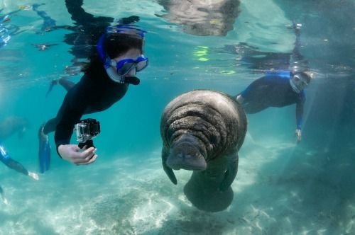 Sea cows, as manatees are also called, are considered half-ton gentle giants. Photo: DiscoverCrystalRiverFL.com