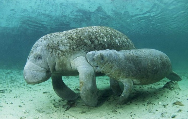A manatee mother with her baby.