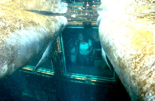 This is what the Underwater Observatory at Homosassa Springs State Wildlife Park looks like from the manatees' point of view. Photo: William Garvin